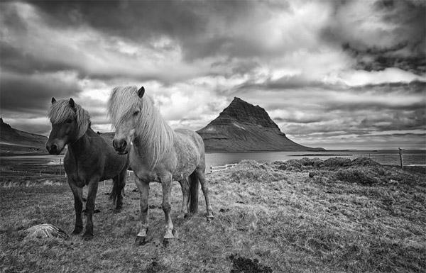 I love Icelandic horses