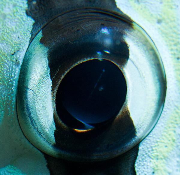 Coral zebra fish eye photo
