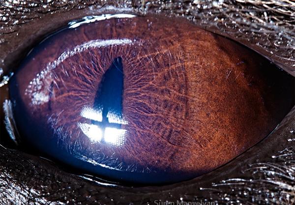 Hyena eye photo