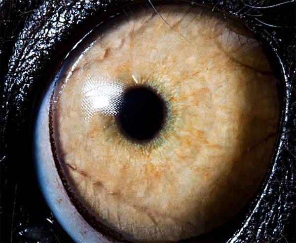 Lemur Catta eye photo