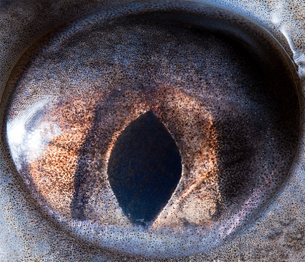 Sterlet eye photo