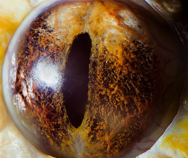 Tiger python (albino) eye photo
