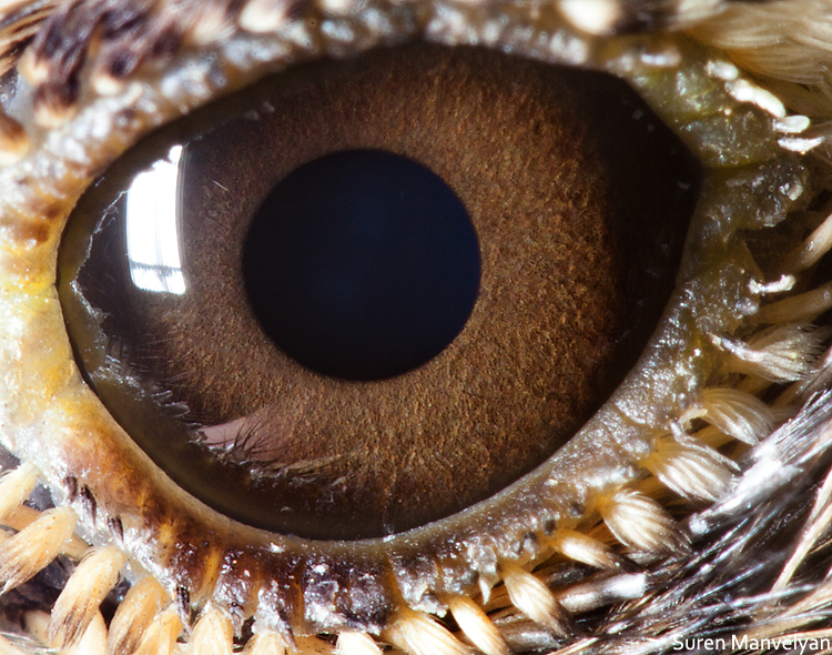 Lark eye photo