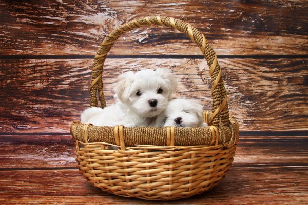 maltese in the basket