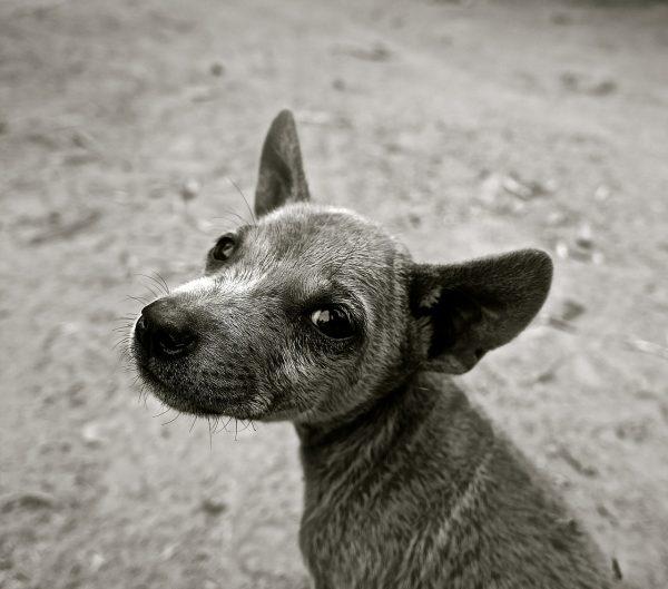 small grey dog