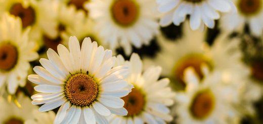 flowers marquerite