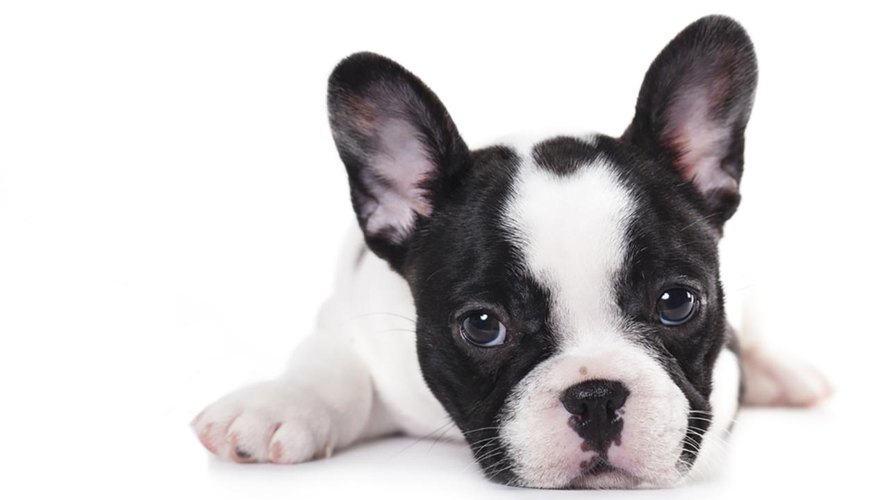 Black-And-White-Cute-French-Bulldog